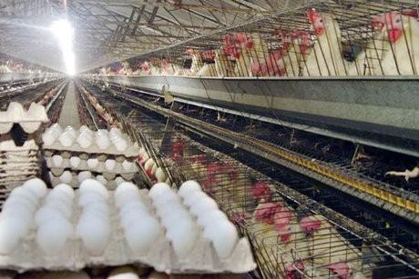 آغاز عرضه مرغ ارزان قیمت / قیمت تخم مرغ کاهش یافت